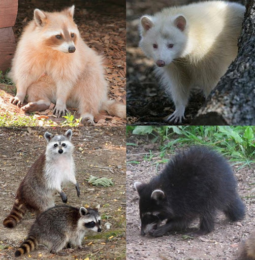 Colour Variation Animals : Raccoon colors, albino, melanistic, Mary Cummins, Animal Advocates Mary Cummins, Animal ...
